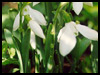 Snowdrop For Hope!