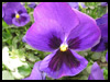 Love You Pansy! - Floral Wishes ecards - Flowers Greeting Cards