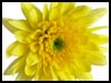 Chrysanthemum Friendship! - Floral Wishes ecards - Flowers Greeting Cards